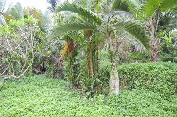 Large tropical palms